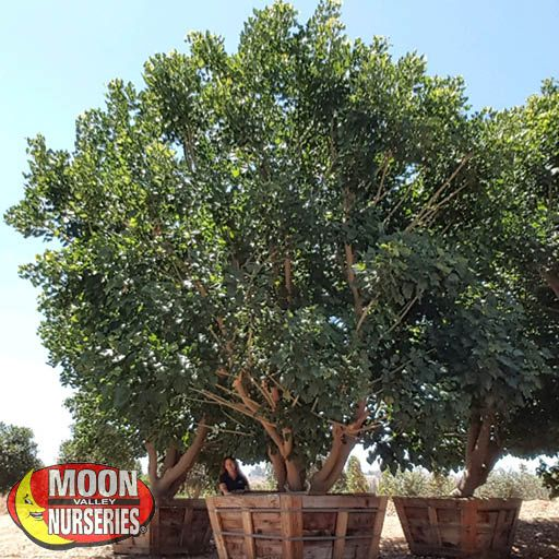 Evergreen Trees Coral Tree