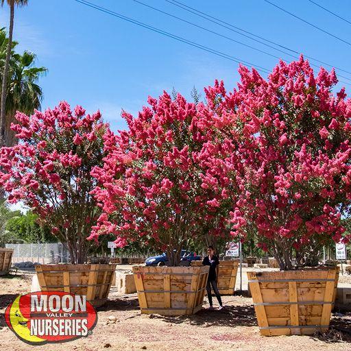 Flowering Trees of Summer Crape Myrtle