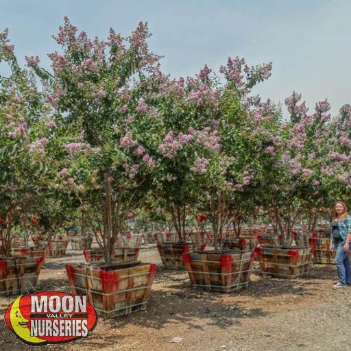 Flowering Trees Muskogee Crape Myrtle