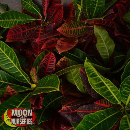 Shrubs Croton