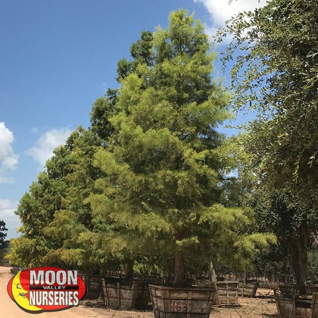 Fast Growers Bald Cypress