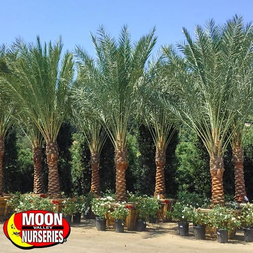 Palm Paradise Trees Date Palm