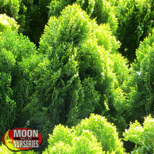 Shrubs Dwarf Golden Arborvitae
