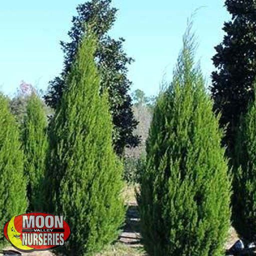 Evergreen Trees Eastern Red Cedar