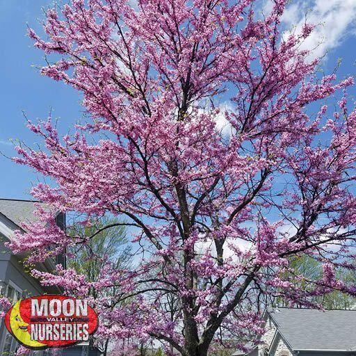 Winter to Spring Refresh TX Eastern Redbud