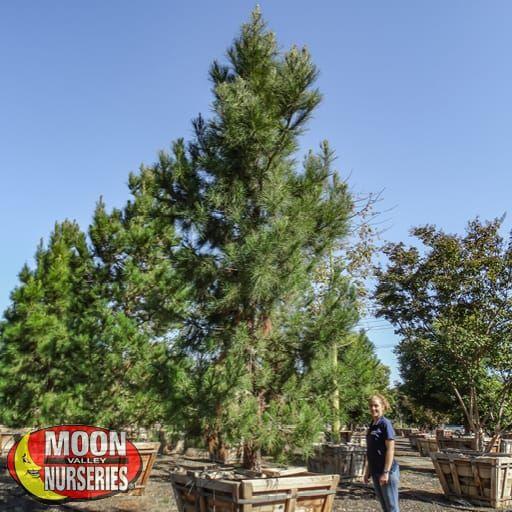 Evergreen Trees Eldarica Pine
