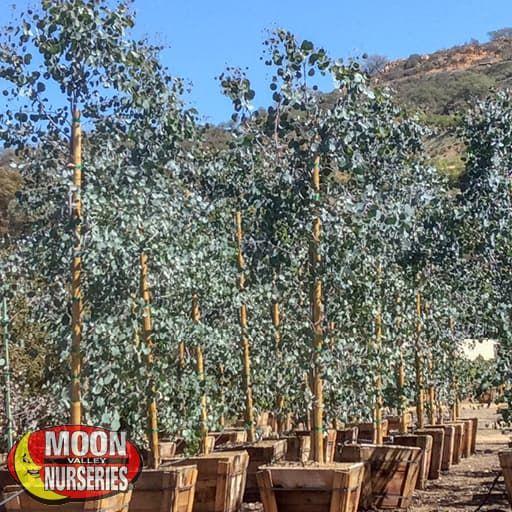 Fast Growers Eucalyptus