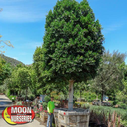 Specimen Trees Ficus Indian Laurel Specimen