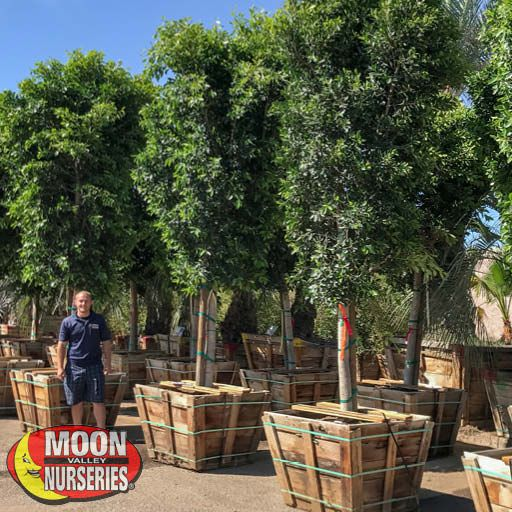 Winter to Spring Refresh CA Ficus Indian Laurel