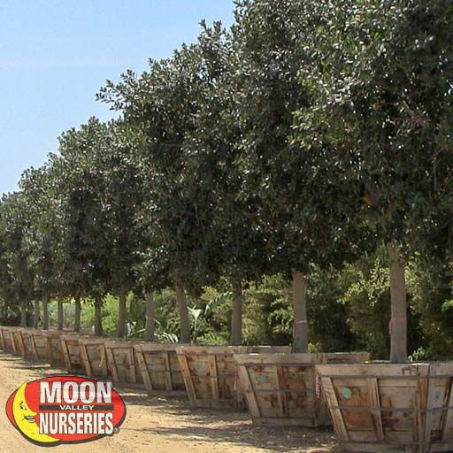 Evergreen Trees Rusty Fig Tree