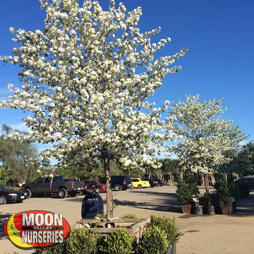 Winter to Spring Refresh TX Flowering Pear