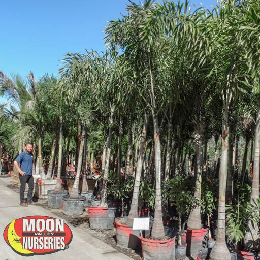 Palm Paradise Trees Foxtail Palm