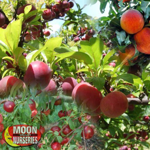 Citrus & Fruit Trees Fruit Salad Tree