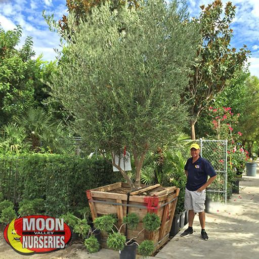 Winter to Spring Refresh NV Fruitless Olive