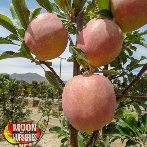 Citrus & Fruit Trees Fuji Apple Tree