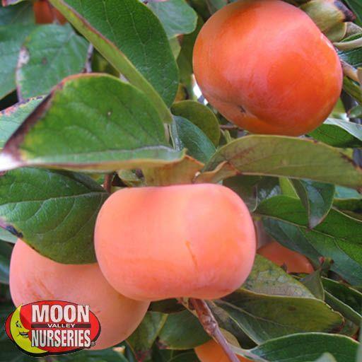 Citrus & Fruit Trees Fuyu Persimmon