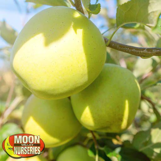 Citrus & Fruit Trees Golden Delicious Apple