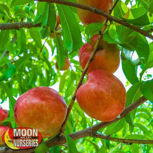 Citrus & Fruit Trees Goldmine Nectarine