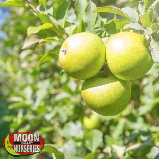Citrus & Fruit Trees Granny Smith Apple