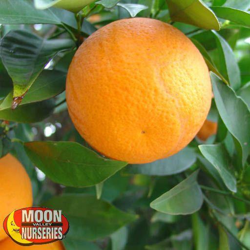 Citrus & Fruit Trees Hamlin Sweet Orange Tree