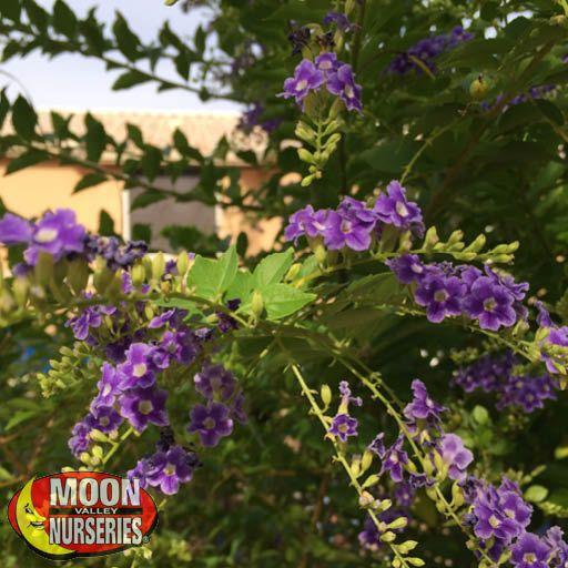 Vines Hardenbergia