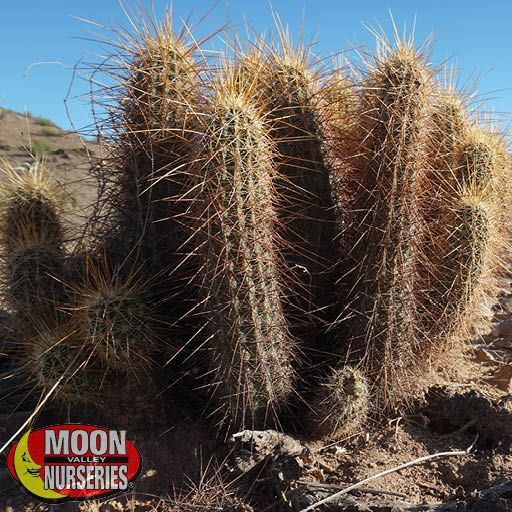 Cacti Agave and More Hedgehog Cactus
