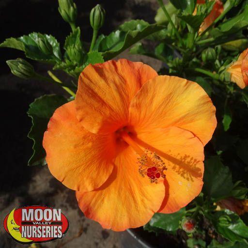 Shrubs Orange Hibiscus