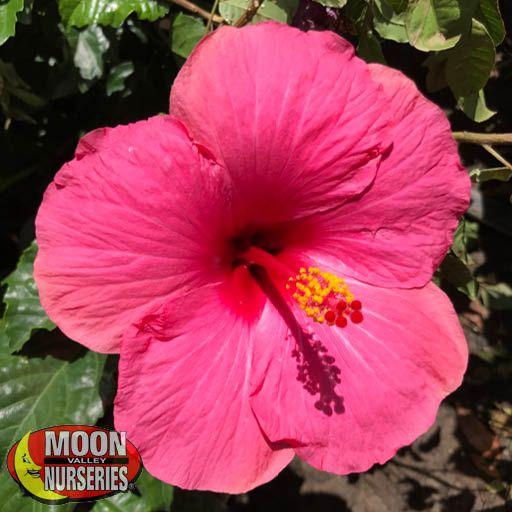 Shrubs Pink Hibiscus