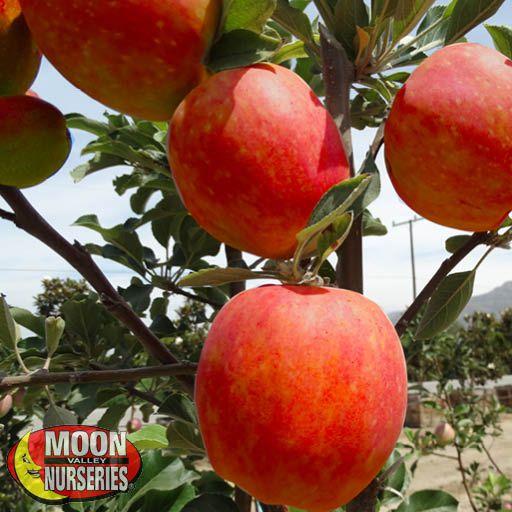 Citrus & Fruit Trees Honeycrisp Apple