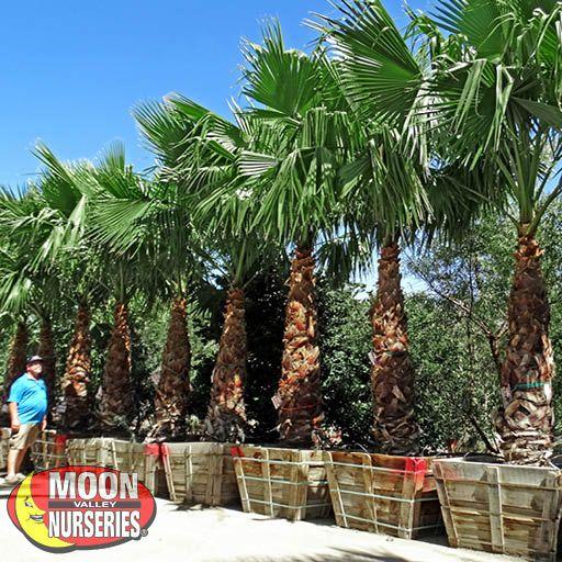 Palm Paradise Trees Hybrid Fan Palm