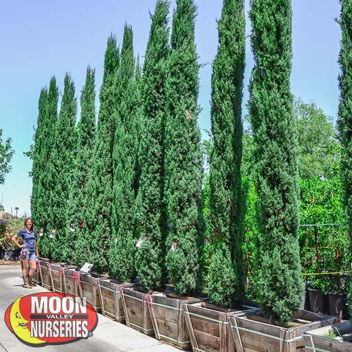 Winter to Spring Refresh NV Italian Cypress