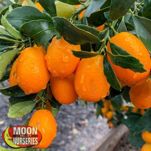 Citrus & Fruit Trees Kumquat
