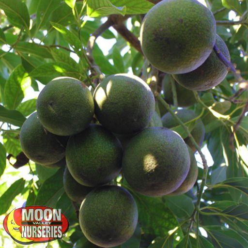 Citrus & Fruit Trees Lamb Hass Avocado