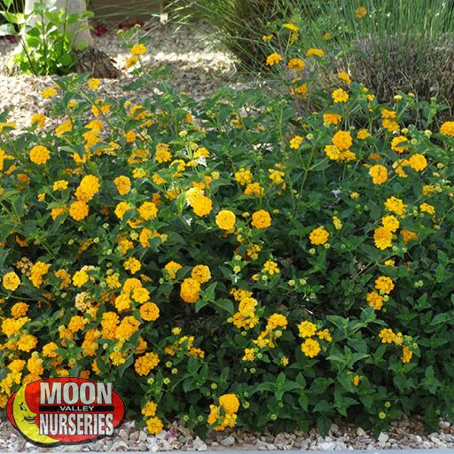 Shrubs Gold Mound Lantana