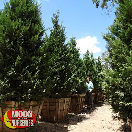 Winter to Spring Refresh TX Leyland Cypress