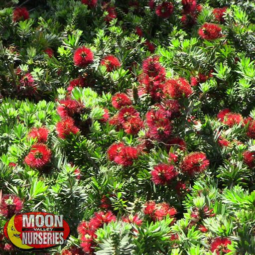 Winter to Spring Refresh NV Little John Bottlebrush