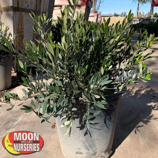 Winter to Spring Refresh NV Little Ollie® Dwarf Olive