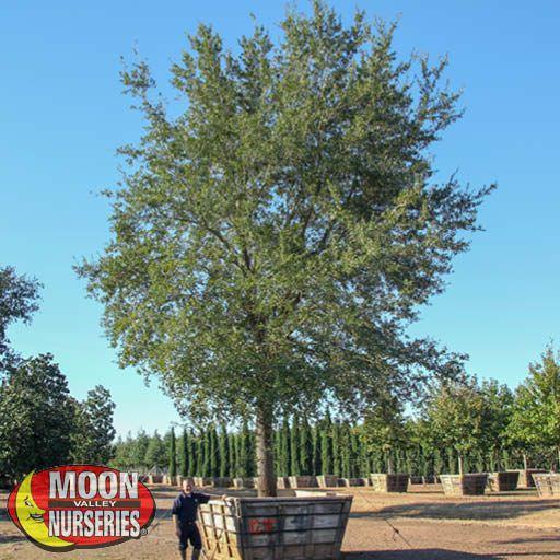 Oak & Magnolia Trees Live Oak Specimen