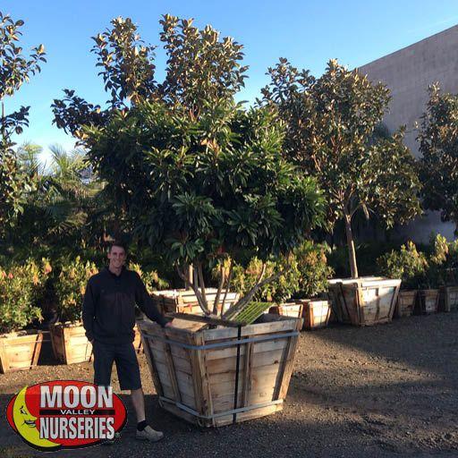 Citrus & Fruit Trees Loquat Tree