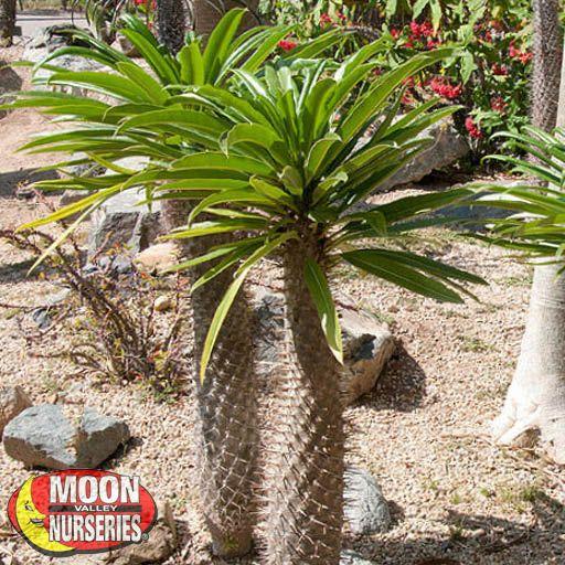 Palm Paradise Trees Madagascar Palm