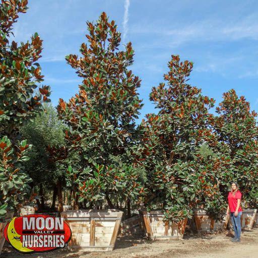 Winter to Spring Refresh NV Magnolia 'D.D. Blanchard'