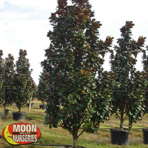 Oak & Magnolia Trees Teddy Bear Magnolia