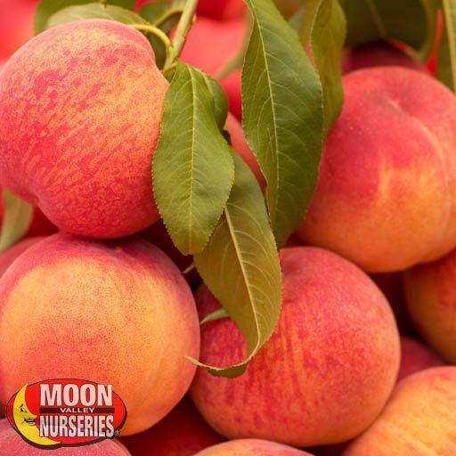 Citrus & Fruit Trees May Pride Peach Tree
