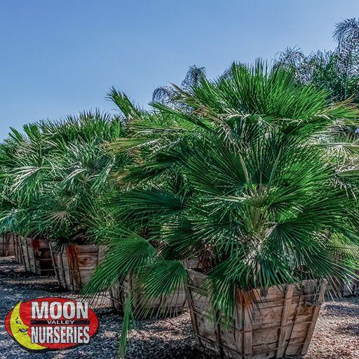 Palm Paradise Trees Mediterranean Fan Palm