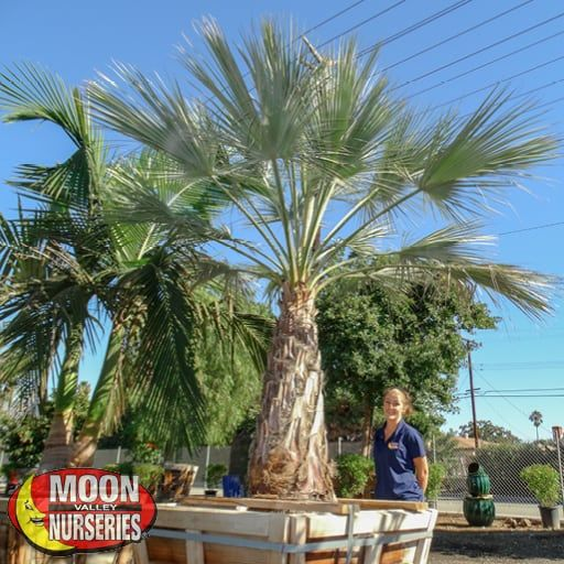 Palm Paradise Trees Mexican Blue Palm