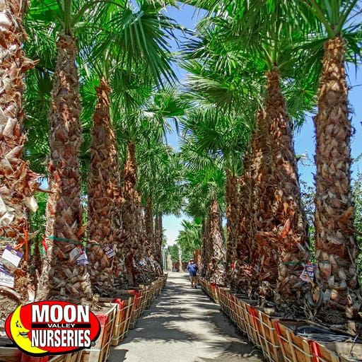 Palm Paradise Trees Mexican Fan Palm