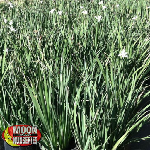 Winter to Spring Refresh CA Morea Iris