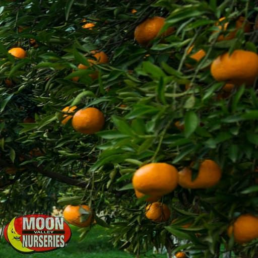Citrus & Fruit Trees Mr. Mac Satsuma