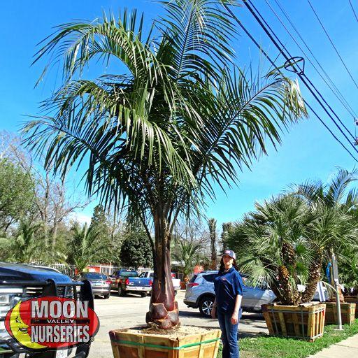 Palm Paradise Trees Mule Palm