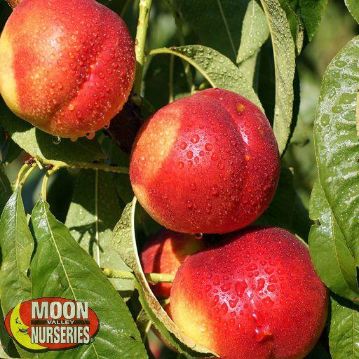 Citrus & Fruit Trees Desert Dawn Nectarine